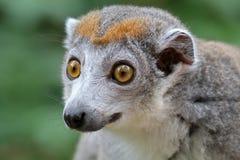 lemur koronowany obrazy stock