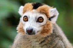 lemur koronowany fotografia royalty free