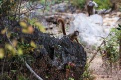 lemur koronowany zdjęcia stock