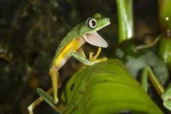 Lemur leaf frog (Agalychnis [Hylomantis] lemur) Stock Photography