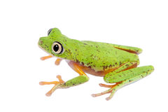Lemur leaf frog on white background Royalty Free Stock Images