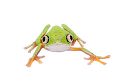 Lemur leaf frog on white background Royalty Free Stock Photo