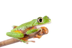 Lemur leaf frog on white background Stock Images