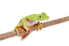 Lemur leaf frog on white background Stock Photography