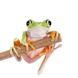 Lemur leaf frog on white background Stock Image