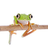 Lemur leaf frog on white background Royalty Free Stock Photography