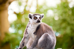 Lemur (lemur catta) Stock Photography