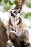 Lemur (lemur catta) Royalty Free Stock Photos
