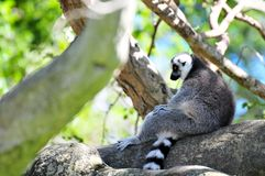 Lemur (lemuridae). Ring-Tailed lemur sitting on a tree branch with its long tail hanging down.  Photographed in Zoo Miami, South Florida Stock Image