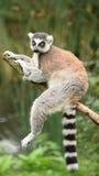 Lemur. Stock Photos