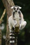 Lemur. Royalty Free Stock Image