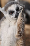 Lemur licking his arm Royalty Free Stock Photography