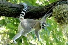 Ring tailed lemur. This lemur lives in the zoo in the netherlands, specifically in apenheul in apeldoorn. The concept of apenheul was simple, people enjoy royalty free stock photo