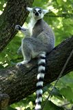 Ring tailed lemur. This lemur lives in the zoo in the netherlands, specifically in apenheul in apeldoorn. The concept of apenheul was simple, people enjoy stock photo