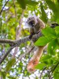 Lemur on Lokobe Strict Reserve in Nosy Be, Madagascar Royalty Free Stock Photography