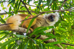 Lemur on Lokobe Strict Reserve in Nosy Be, Madagascar. Close up wildlife portrait of lemur gaze on Lokobe Strict Nature Reserve in Nosy Be, Madagascar, Africa Stock Images