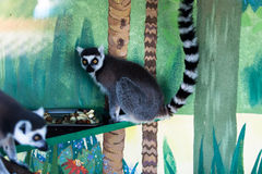 Lemur looking on anoter one. In zoo with selective focus Royalty Free Stock Images
