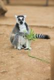Lemur Looking Around Stock Photos
