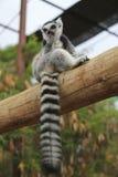 Lemur Looking Around Royalty Free Stock Image