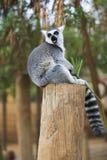 Lemur Looking Around Royalty Free Stock Photo