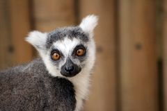 A lemur looking into the camera. A furry grey and white lemur from Woodsiade Wildlife Park staring into the camera Royalty Free Stock Photos