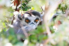 Lemur looking through leaves Stock Photography