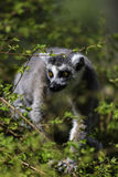 Lemur Looking out between the trees Stock Photography