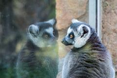 Lemur looks at the reflection Stock Image