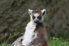 Lemur. Stock Images