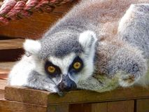 Lemur lying on a wooden platform looking at the camera royalty free stock photos