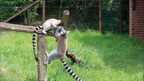 Lemur małpy bawić się zbiory wideo