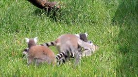 Lemur małpy bawić się zbiory
