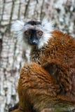 Lemur macaco Royalty Free Stock Photography