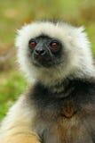 lemur madagascar Royaltyfria Foton