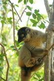 lemur madagascar Royaltyfri Fotografi