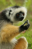 lemur madagascar Fotografering för Bildbyråer