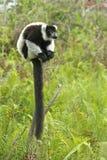 lemur madagascar Arkivfoton