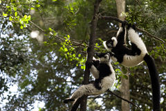 lemur madagascar royaltyfria bilder