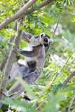 Lemur of Madagascar Stock Image