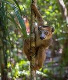 Lemur of Madagascar Royalty Free Stock Photos