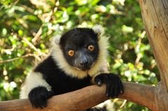 Lemur of Madagascar, endemic species. Lemur of Madagascar, The Ringed-tailed Lemur is endangered due to human destruction of it's natural habitat, the rainforest Stock Image