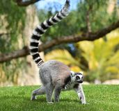 Lemur in madagascar. In the grass stock photography