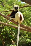 Lemur of Madagascar hanging in a tree. Lemur of Madagascar, Coquerel's sifaka (Propithecus coquereli) is a diurnal, medium-sized lemur of the sifaka genus Royalty Free Stock Image