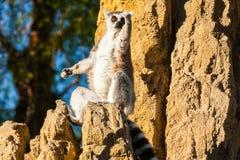 Lemur madagascar. Sits on a rock at sunset stock photography