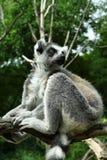 Lemur of Madagascar. Lemurs is the world`s most endangered mammals Royalty Free Stock Image