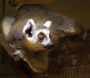 Lemur of Madagascar. Portrait of lemur in Madagascar looks at the zoo Royalty Free Stock Photography