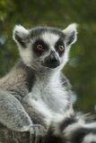 Lemur of Madagascar Royalty Free Stock Photography