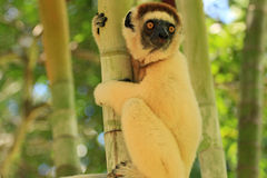 Lemur in Madagascar. Lemur on the tree in Madagascar, Africa Stock Images