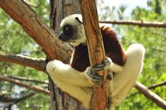 Lemur of Madagascar in a tree, endemic species. Lemur of Madagascar, Coquerel's sifaka (Propithecus coquereli) is a diurnal, medium-sized lemur of the sifaka Royalty Free Stock Image