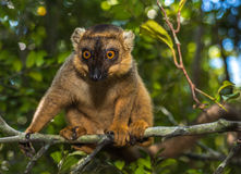 Lemur of Madagascar Royalty Free Stock Photography